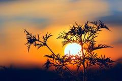 在日落背景的花 免版税库存图片