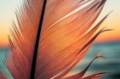在日落背景的鸟羽毛 库存照片