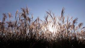 在日落芦苇的剪影 在太阳下的共同性 免版税库存照片