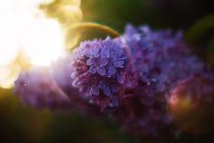 在日落透镜火光的一个淡紫色分支 免版税库存照片