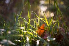 在日落阳光的秋天草  免版税库存图片
