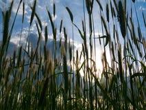 在日落麦子的域 图库摄影