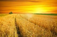 在日落麦子的域 免版税库存图片