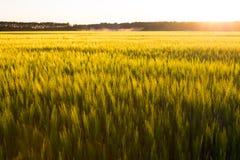 在日落麦子的域 免版税图库摄影