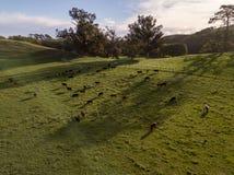 在日落,空中农厂视图的新西兰母牛 图库摄影
