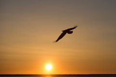 在日落,荷马阿拉斯加的白头鹰飞行 图库摄影