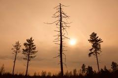 在日落,被定调子的图象的死的树 图库摄影