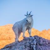 在日落-冰川国家公园的石山羊 免版税库存图片