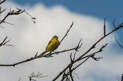 在早午餐的Greenfinch 免版税库存照片
