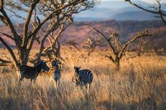 在早晨光南非的斑马 免版税库存图片