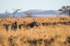 在早晨光南非的斑马 免版税库存照片