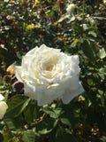 在早晨光的一朵白色玫瑰 免版税库存图片