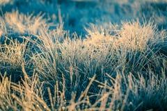 在早晨光的一棵美丽的结冰的沼泽地草 冻薹草的领域在沼泽的 免版税库存图片