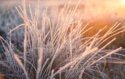 在早晨光的一棵美丽的结冰的沼泽地草 冻薹草的领域在沼泽的 库存图片