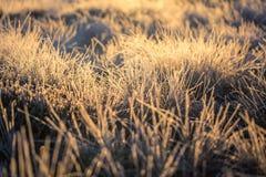 在早晨光的一棵美丽的结冰的沼泽地草 冻薹草的领域在沼泽的 免版税图库摄影