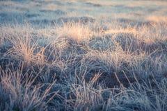在早晨光的一棵美丽的结冰的沼泽地草 冻薹草的领域在沼泽的 图库摄影