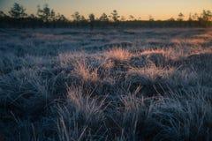 在早晨光的一棵美丽的结冰的沼泽地草 冻薹草的领域在沼泽的 免版税库存照片