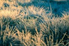 在早晨光的一棵美丽的结冰的沼泽地草 冻薹草的领域在沼泽的 库存照片