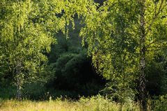 在早晨光的两个绿色桦树 免版税图库摄影