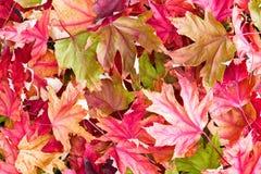 在早晨光的五颜六色的秋天槭树秋天叶子 免版税库存图片