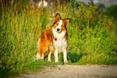 在早晨光的博德牧羊犬,纵向 图库摄影