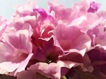 在早晨光的桃红色花 库存照片