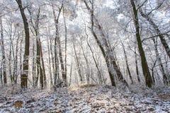 在早晨光的白色结冰的冬天不可思议的森林风景 免版税库存图片