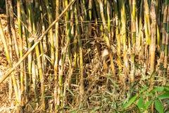 在早晨光的竹丛 库存图片