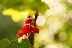 在早晨光的红色成熟无核小葡萄干 免版税库存照片