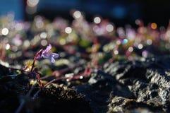 在早晨光的紫罗兰色花 免版税库存图片