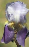 在早晨光的紫色有胡子的虹膜 免版税库存照片