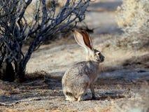 在早晨光的黑被盯梢的长耳大野兔 库存照片