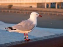 在早晨太阳光芒的海鸥  图库摄影