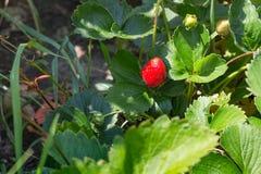 在早晨太阳的一个草莓 免版税库存图片