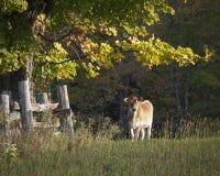 在早晨太阳的倾斜光的泽西母牛 库存图片