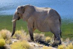 在早晨太阳的大象 免版税库存照片