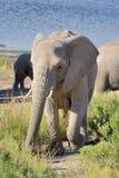 在早晨太阳的大象 图库摄影