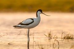 在早晨太阳的染色长嘴上弯的长脚鸟 免版税库存图片