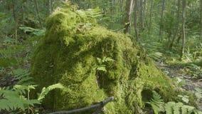 在早晨太阳的生苔树桩 在森林和太阳反射的生苔树桩 股票视频