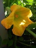 在早晨太阳的黄南瓜开花 免版税库存图片