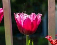 在早晨时间的大红色郁金香花有blured背景 库存图片