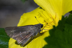 在早晨本质的蓝色蝴蝶飞行 免版税库存照片