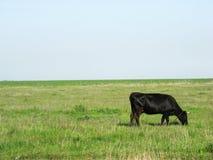 在早晨步行的母牛在春天 库存图片