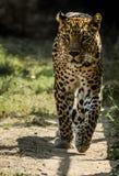 在早晨步行的野生豹子 图库摄影
