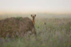 在早晨薄雾的大型装配架鹿 免版税库存照片