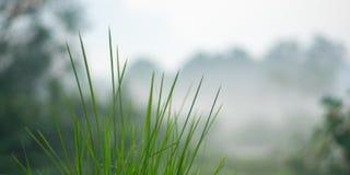 在早晨薄雾的草 免版税图库摄影