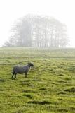在早晨薄雾的绵羊 免版税库存图片