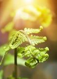 在早晨金黄黄色阳光的Farn叶子 库存图片