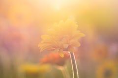 在早晨阳光下的大丁草花 免版税库存照片