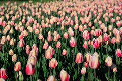 在早晨阳光下的许多桃红色郁金香在公园 大关闭 免版税库存图片
